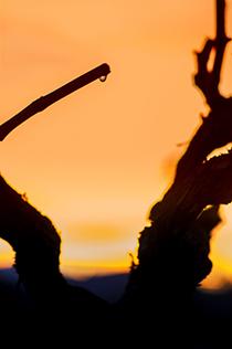 La savia despierta con la subida de las temperaturas y se manifiesta en los cortes producidos por la poda.